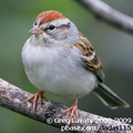 Chipping-sparrow-greg-lavaty-285_small