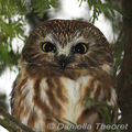 Northern-saw-whet-owl-daniella-theoret-285_small