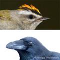Songbird-large-small-gregg-thompson-285_small