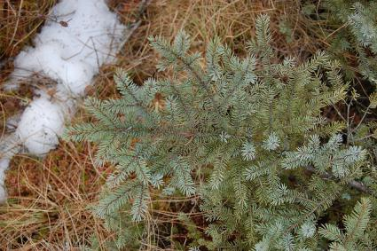 Caption: Snow & Needles, Credit: Eli Sagor/Flickr