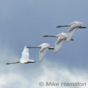 Winter-swans-incoming-mikeh-285_small