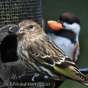Caption: Pine Siskin & Chestnut-backed Chickadee, Credit: Mike Hamilton