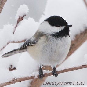 Caption: Black-capped Chickadee, Credit: Denny Mont