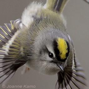 Caption: Golden-crowned Kinglet, Credit: Joanne Kamo