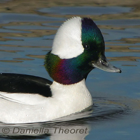 Caption: Bufflehead, Credit: Daniella Theoret