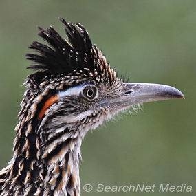 Caption: Roadrunner