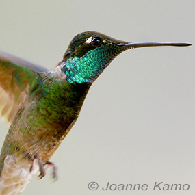 Caption: Magnificent Hummingbird, Credit: Joanne Kamo