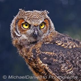 Caption: Great Horned Owl, Credit: Michael Daniel Ho