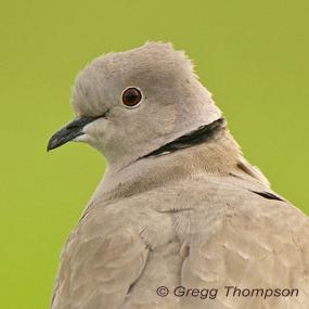 Eurasian-collared-dove-greggt-285_small