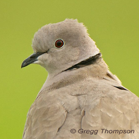 Caption: Eurasian Collared Dove, Credit: Gregg Thompson