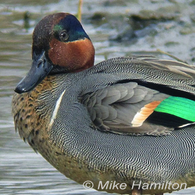 Caption: Green-winged Teal, Credit: Mike Hamilton