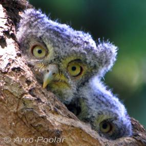Caption: Eastern Screech Owl Babies, Credit: Arvo Poolar