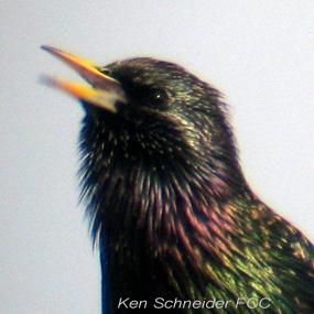 Caption: European Starling, Credit: Ken Schneider