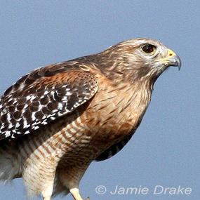 Caption: Red-shouldered Hawk, Credit: Jamie Drake