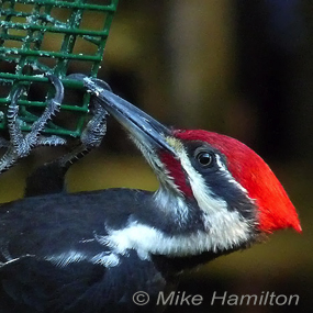 Caption: Pileated Woodpecker, Credit: Mike Hamilton