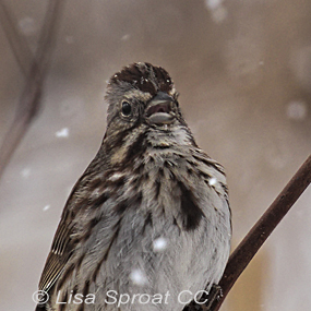 Caption: Song Sparrow, Credit: Lisa Sproat