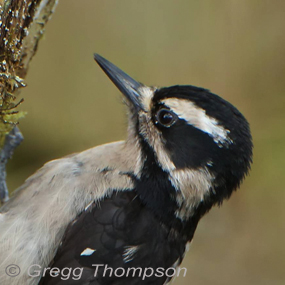 Pounding-hairy-woodpecker-greggt-285_small