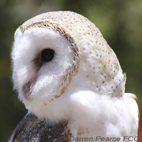 3-raptors-barn-owl-darren-pearce-fcc-285_small