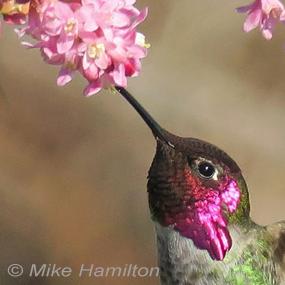 Nectar-annas-hummingbird-mike-hamilton-285_small