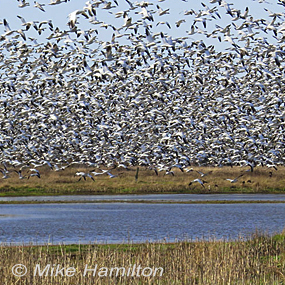 Snow-geese-too-much-mike-hamilton-285_small