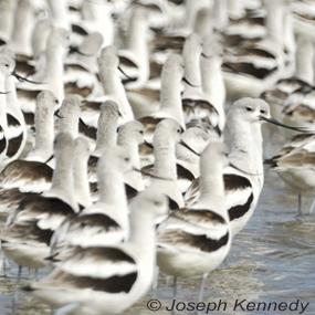 American-avocets-joseph-kennedy-bolivar-285-2_small