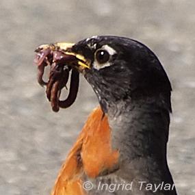 Earthworms-american-robin-ingrid-taylar-285_small
