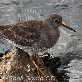 Strange-purple-sandpiper-shell-game-285_small