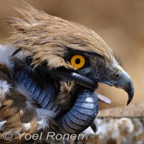 Caption: Short-toed Snake Eagle, Credit: Yoel Ronen