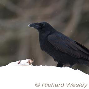 Winter-storage-raven-carcass-richard-wesley-285_small