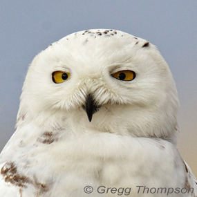 Years-worth-snowy-owl-greggt-285_small