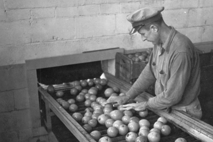 Caption: A citrus worker in Plymouth, Fla. grades oranges in this 1942 photo., Credit: Florida Citrus Exchange, McKay Archives, Florida Southern College