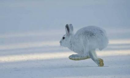 Caption: Snowshoe Hare by Dan Newcomb