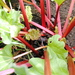 Caption: Rhubarb Emerging, Credit: Muriel Murch