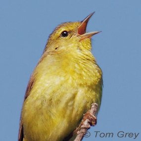 Where-now-orange-crowned-warbler-tom-grey-285_small