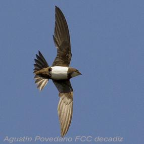 Alpine-swift-agustin-povedano-285_small