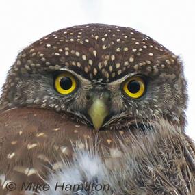 Mob-northern-pygmy-owl-285_small