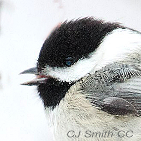 Comparing-black-capped-chickadee-cjsmith-285_small