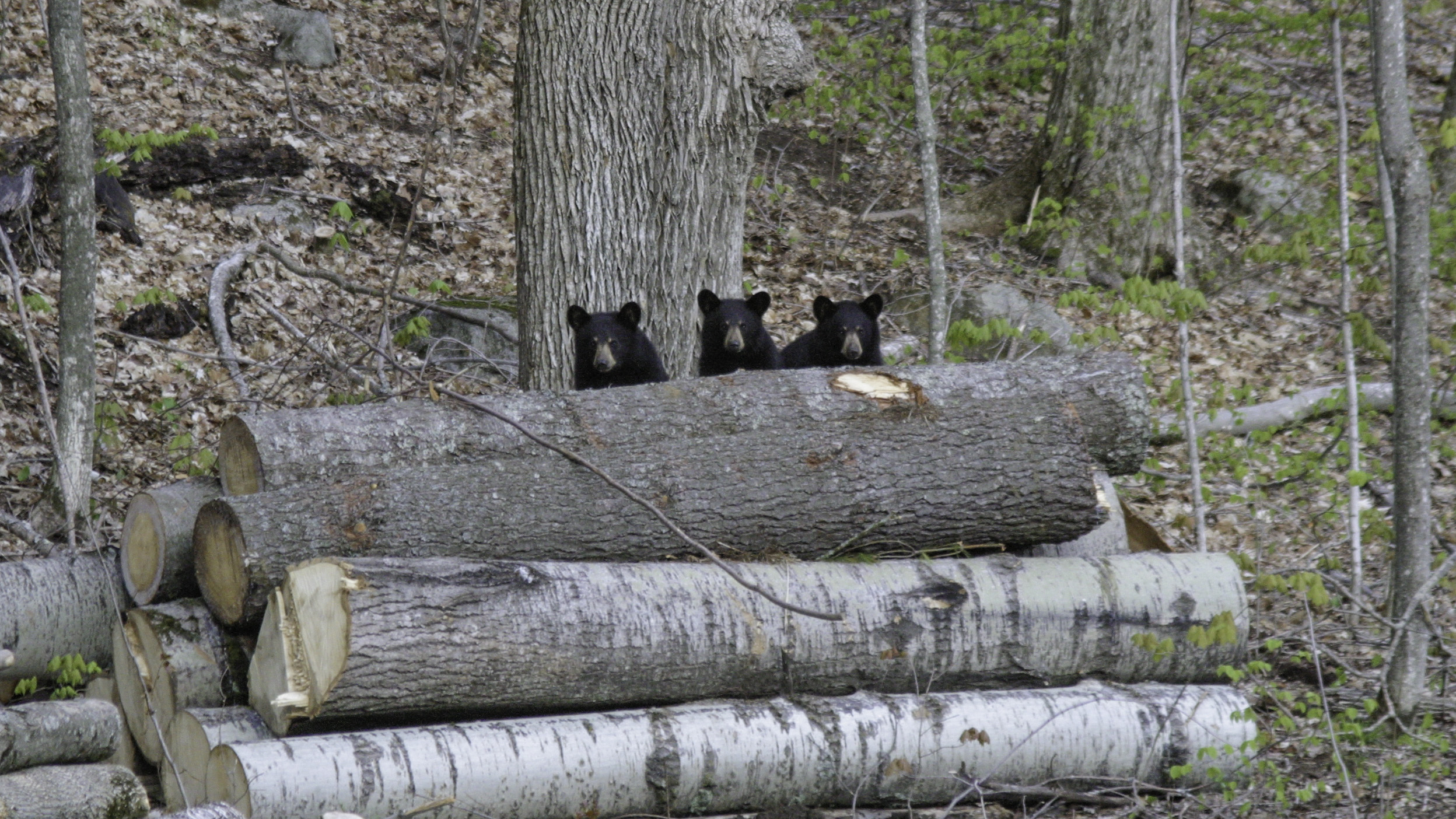 Caption: Black Bears in New Hampshire, Credit: Kilham Bear Center