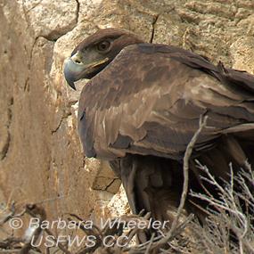 Caption: Golden Eagle, Credit: Barbara Wheeler