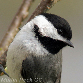 Carolina-chickadee-mark-peck-2019-285