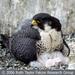 Caption: Peregrine Falcon