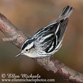 Caption: Black and White Warbler, Credit: Ellen Michaels