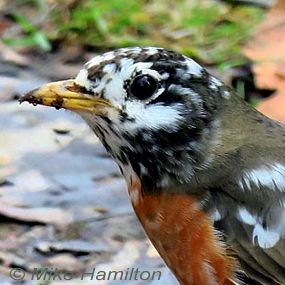 Caption: American Robin, Credit: Mike Hamilton