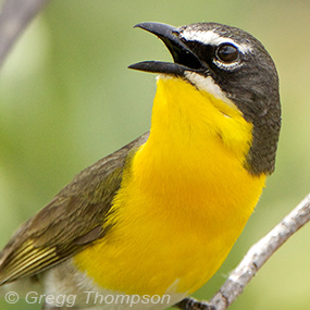 Caption: Yellow-breasted Chat, Credit: Gregg Thompson