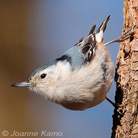 Caption: White-breasted Nuthatch, Credit: Joanne Kamo