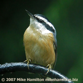Caption: Red-breasted Nuthatch, Credit: Mike Hamilton