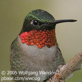Caption: Ruby-throated Hummingbird, Credit: Wolfgang Wander