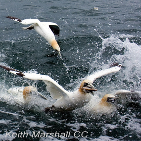 Caption: Northern Gannets, Credit: Keith Marshall