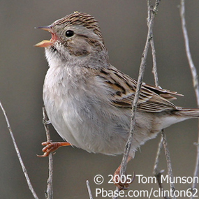 Caption: Brewer's Sparrow, Credit: Tom Munson