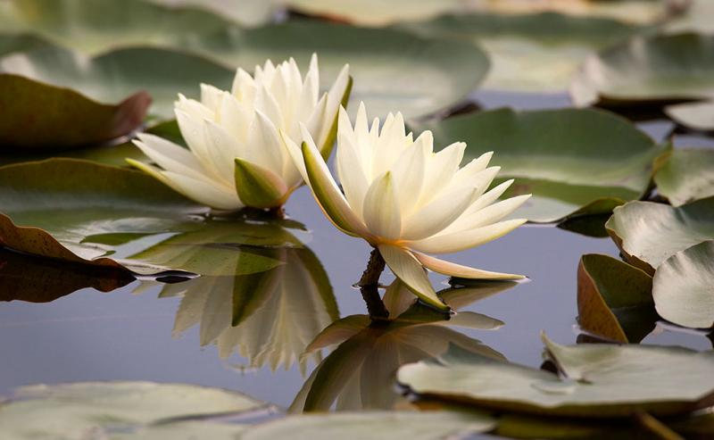 Caption: This photograph by Henry Domke of a waterlily has sold more than 150 times to clinics and hospitals nation-wide., Credit: HENRY DOMKE / PHOTO PROVIDED